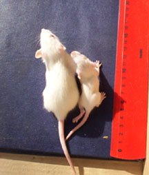 two rats from the Russian study